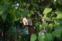 BotGarden Bodhi tree-20160824-AME-7247
