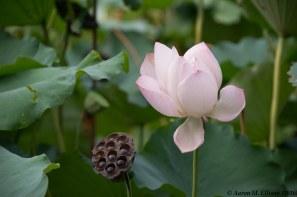 BotGarden Lotus-20160824-AME-7235