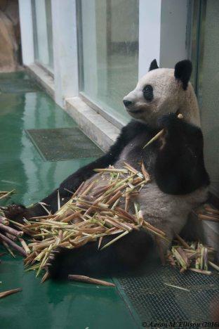 ChengduZooPanda-20160830-AME-7589