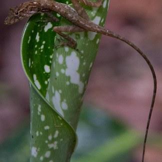 Liazrd on leaf - Sybil crop-20160726-AME-6328