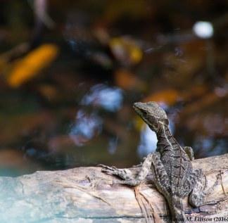 Lizard I-20160724-AME-5604