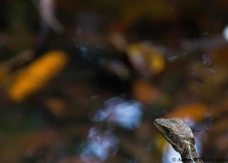 Lizard I - portrait-20160724-AME-5604
