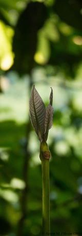Leaf pair I