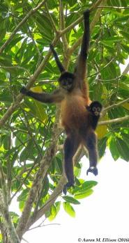 Spider monkey II-20160725-AME-5953