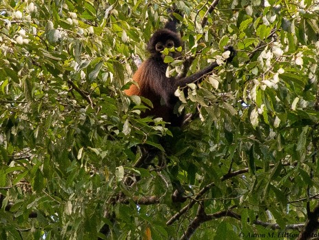 Spider monkey V-20160725-AME-6116