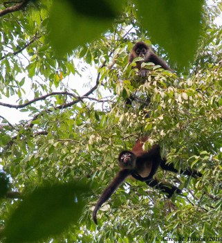 Spider monkey VI-20160725-AME-6147