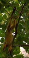 Squirrel monkey I-20160725-AME-6267