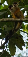 Squirrel monkey III-20160725-AME-6303
