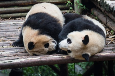 3-year old pandas, Chengdu Panda Breeding Center