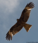 Mongolian kite