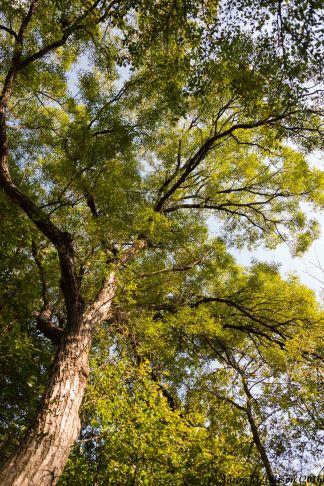 Chosenia arbutifolia