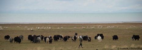Yak shepherdess, Qinghai Lake