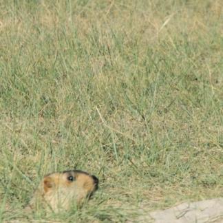 The Himalayan Marmot