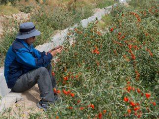 Eryuan picking goji berries