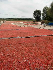 Goji berries drying in the sun