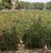 Migrant labor picking goji berries