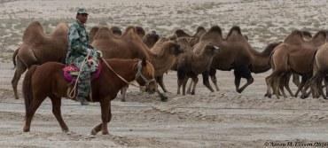 Camel driving