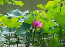 Lotus: Xing Qing Garden