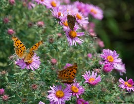 Butterflies and asters