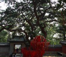 A 500-year-old Pinus tabuliformis tree