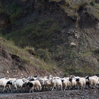 Herding sheep in the Qilian Mountains