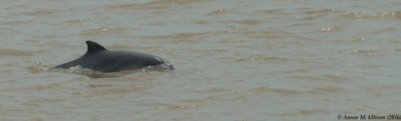 dolphin-at-santo-antonio-20161117-ame-9908
