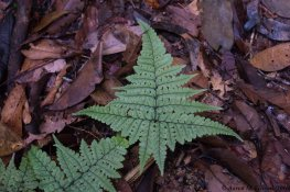 A beautiful fern at Ducke