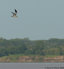 some-kind-of-tern-20161117-ame-9858