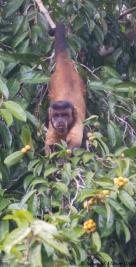 Capuchin monkey at Caxiuana