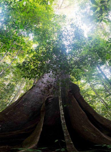 Tauari, the Amazon forest giant