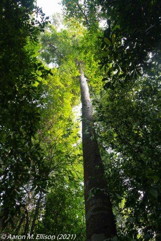 Hopea sp (Dipterocarpaceae) at Bukit Timah