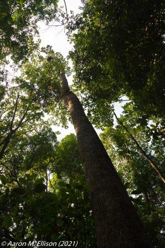 Campnosperma auriculata at Bukit Timah