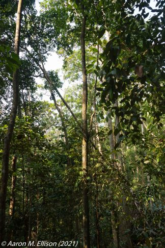 Campnosperma auriculata stand at Bukit Timah