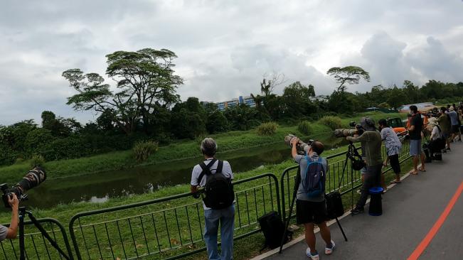 Watching the grey-headed fish eagle along the Ulu Pandan Park Connector, Singapore